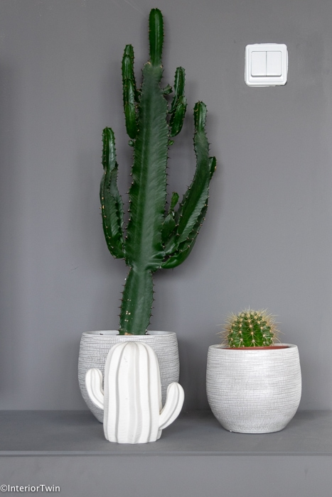 cactussen in pot