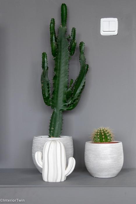 cactussen in pot