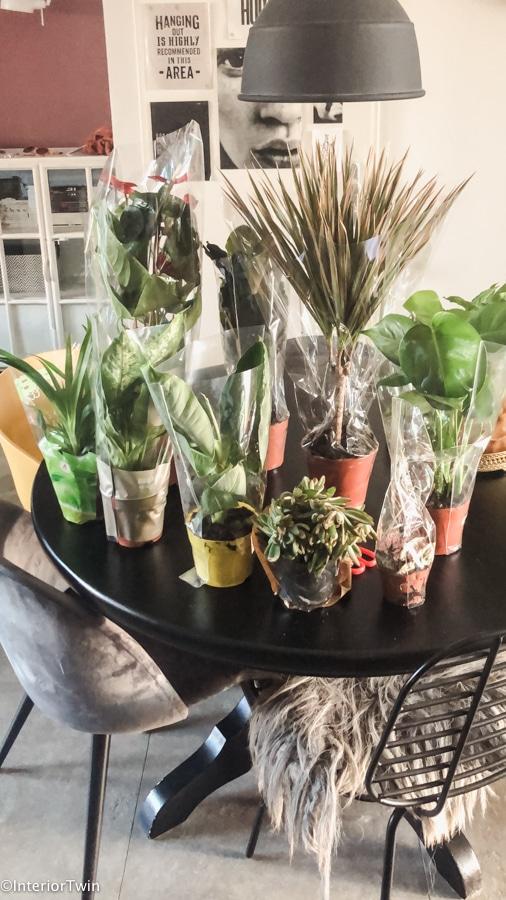 groene kneusjespakket plantje