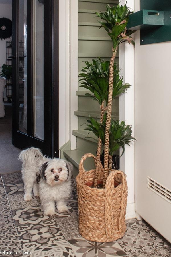 grote makkelijke kamerplant dracaena
