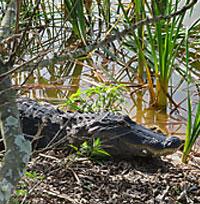 Roadside alligator