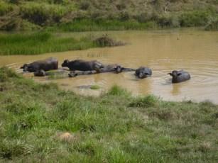 Murrah x Buffalypso in Puchino Farm - Costa Rica