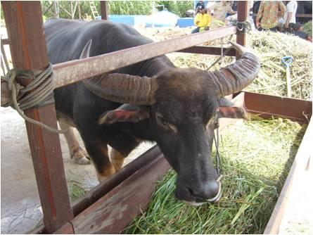 indonesian buffalo