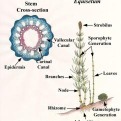 Horsetail Plant Diagram 2003 Ford F 350 Wiring Equisetum Related Keywords Suggestions International Equisetological Association