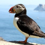 Puffin on Skellig Michael
