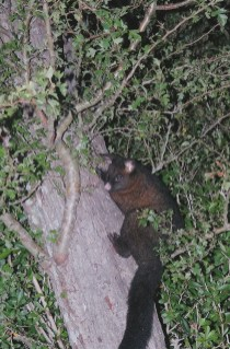 A possum we scared up a tree during our night hike