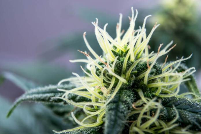Harvard Study: Cannabis Cut Tumor Growth By 50% In Just Three Weeks