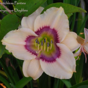 Daylily 'Crotchless Panties' from allthingsplants.