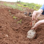 Planting tomatoes