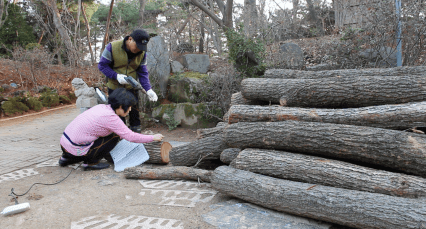 Choi and his wife drilling holes in logs and placing bills of bacteria inside. Mushrooms to eat will grow from the bacteria.