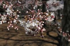 SK_Frazier9_Blossoms