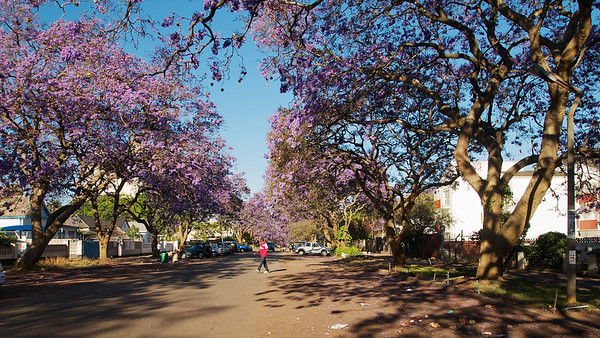 Jacarandas in Bloom on Union Street ©2011 Jason Hindle