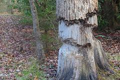 Tree Survives Beaver Attack