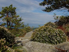 Sand Myrtle on Hawksbill Mountain