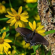 Black Swallowtail on Rudbeckia