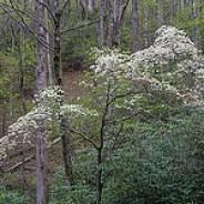 Wild Dogwood