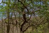 Gnarly laurel