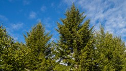 Very healthy spruce trees