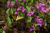 Swallowtail and azalea