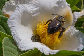 Stewartia and bee close-up
