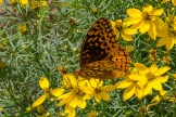 Thread Leaf Coreopsis and Spangled Fritillary