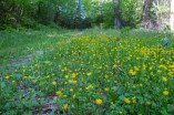 Buttercups line the trail