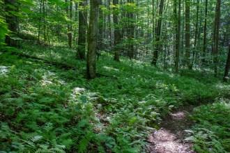 Fern florest floor