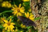 Swallowtail on Rudbeckia