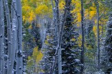 Aspen and Spruce