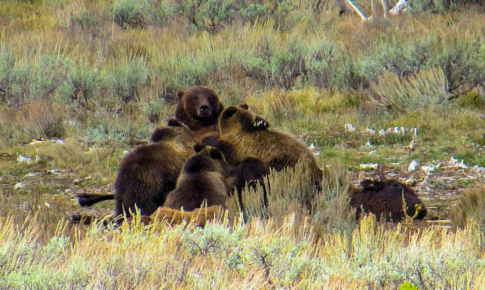 399 and her cubs - Photo by Dave Landreth