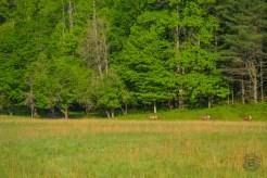 Elk at forest edge