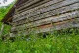 Bluebells at Hannah cabin