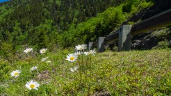 Parkway daisies