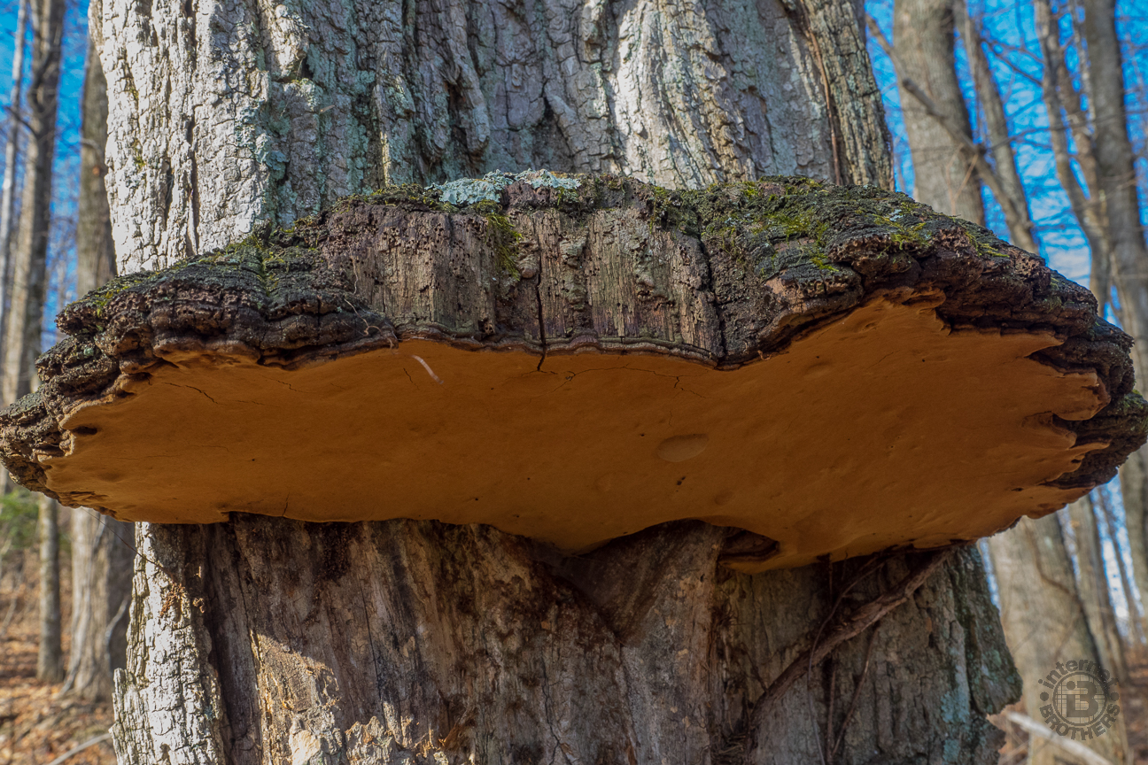 OK botanists out there. Is the large growth on the tree a burl, or is it a very large hoof conk fungus? If you know, please share in the comments at the bottom of the post. Whatever it is, we were fascinated, and stared for several minutes.