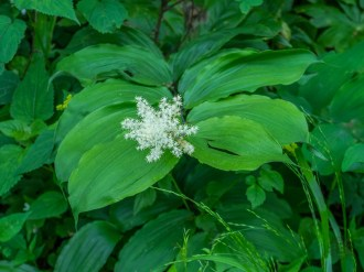 False solomon seal