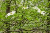 Dogwood branch