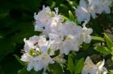 Rhododendron carolinium