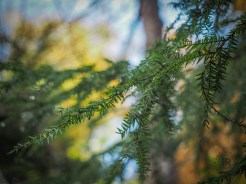 Hemlock boughs