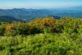 Azalea hedge row