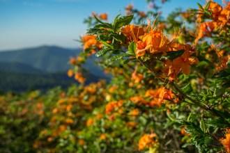 Fresh azalea blossoms