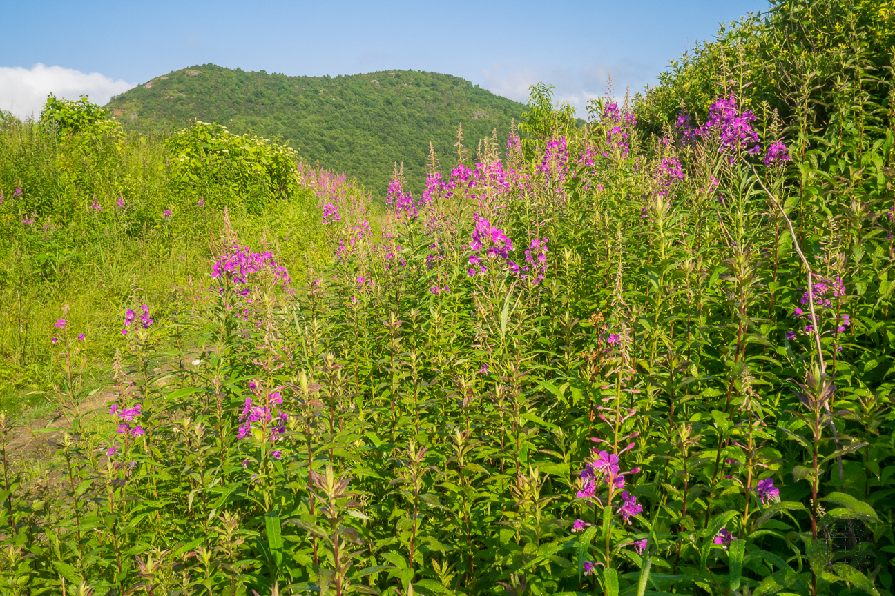 Chamerion angustifolium, commonly known as fireweed, is a perrenial that can grow as tall as eight feet. This herb is often abundant in wet open fields, pastures, and particularly burned-over lands. That certainly applies to this area.