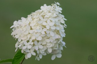 Cream hydrangea