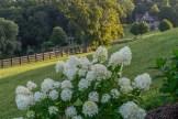 Hydrangea and farmhouse