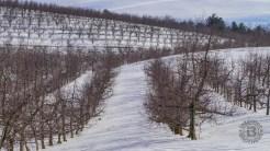 Apple orchard in Edneyville