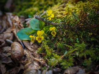 Early yellow violets