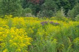 Goldenrod and ironweed