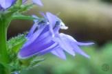 Great lobelia macro