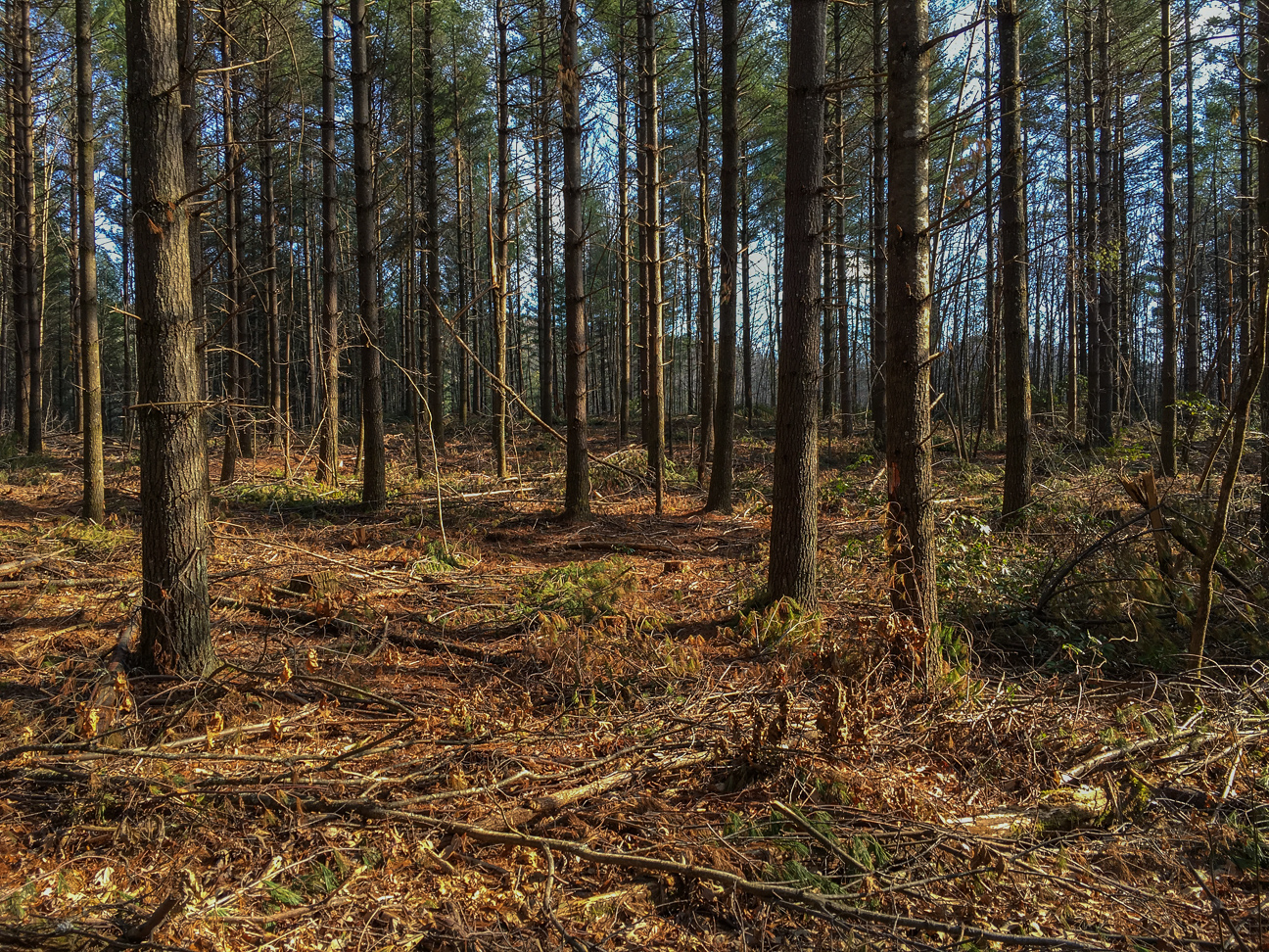 The logging is performed with a forwarder, a piece of equipment that minimizes soil disturbance and need for new roads.