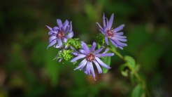 Lowries blue aster