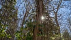 Sunburst through the spruce